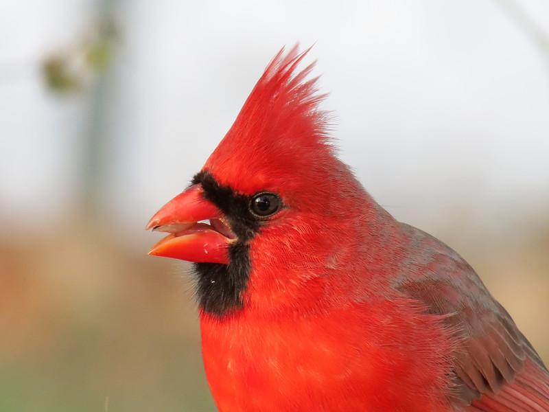 Cardinal - January 2, 2013
