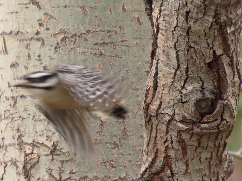 A Downy Woodpecker takes flight from an Aspen tree.