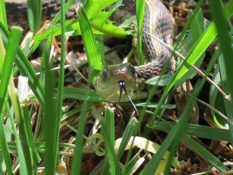 Becky's Garden Snake Flashes His Tongue.