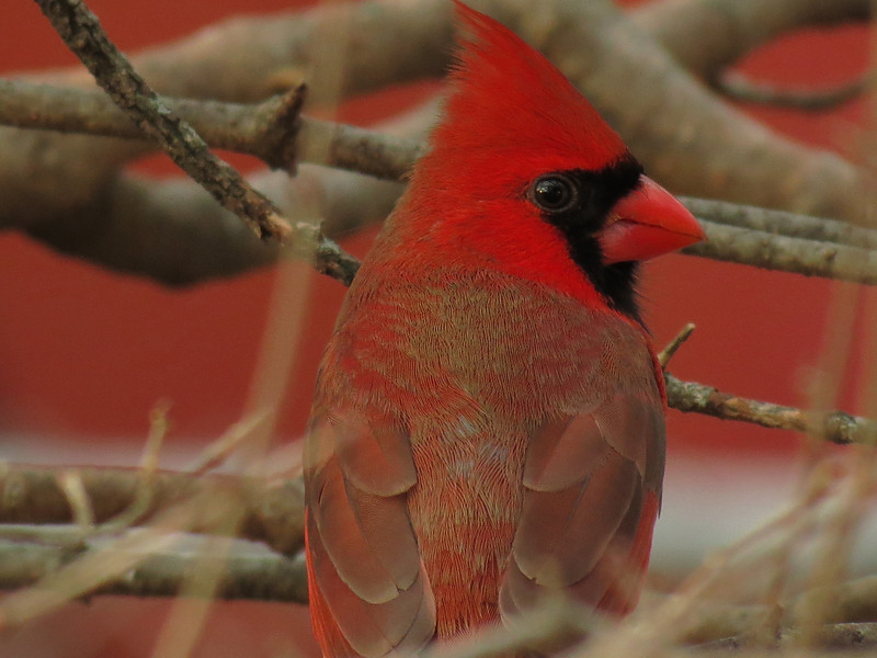 Northern Cardinal just before sundown.<br /> It was getting dark when I took this picture.