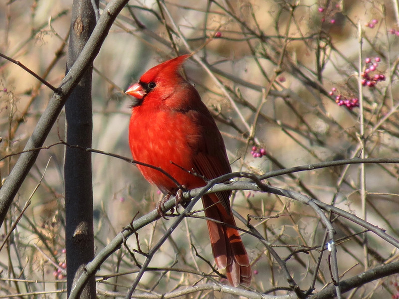 A Very Red Cardinal on Thanksgiving Day.