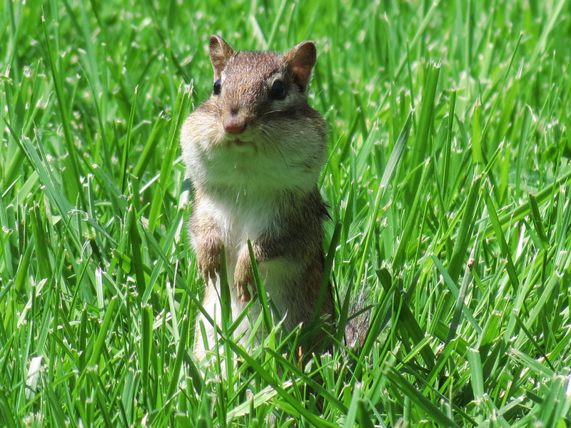 Chipmunk with his cheeks full of sunflower seeds.