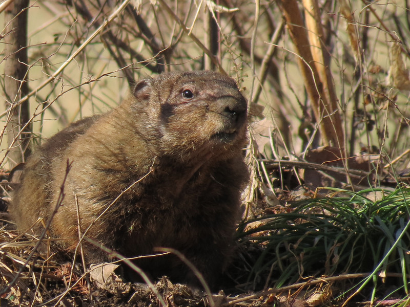 The Groundhog emerging from her burrow for the first time this year.