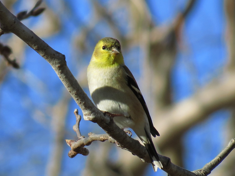 Goldfinch on January 19, 2013.