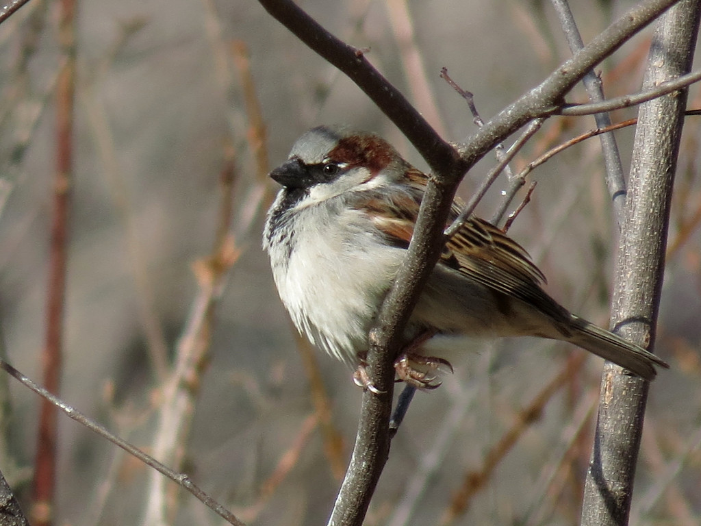 Sparrow sunning itself in the Forest Pansy Redbud tree.