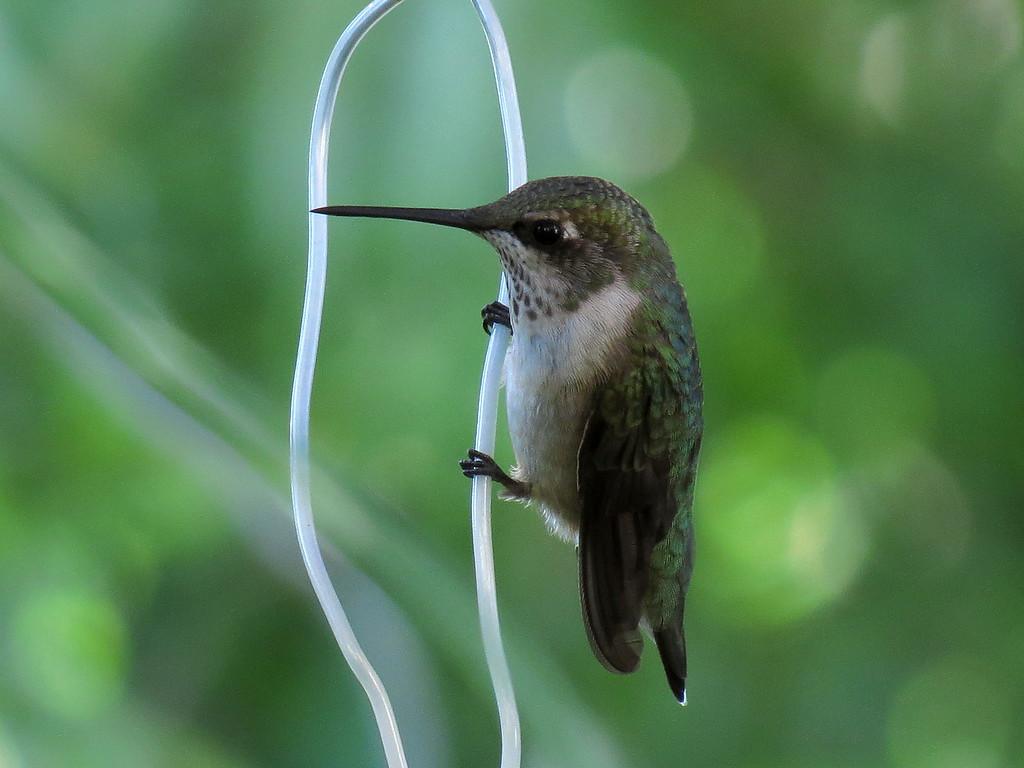 Female Ruby-Throated Hummingbird.