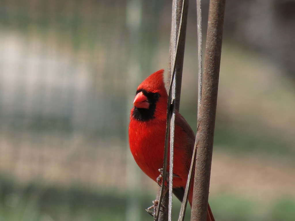 A very red Cardinal on the old rusty arbor.