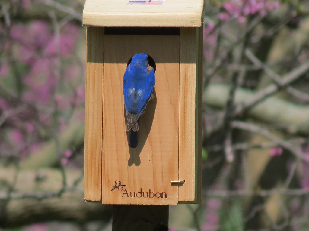Male Bluebird checking out the new Bluebird house.