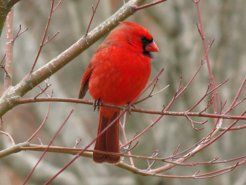 Cardinal on a cold, dark and dreary winter day.