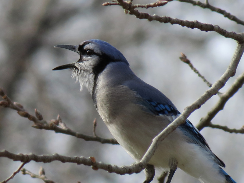 Blue Jay calling the other Blue Jays in the neighborhood.