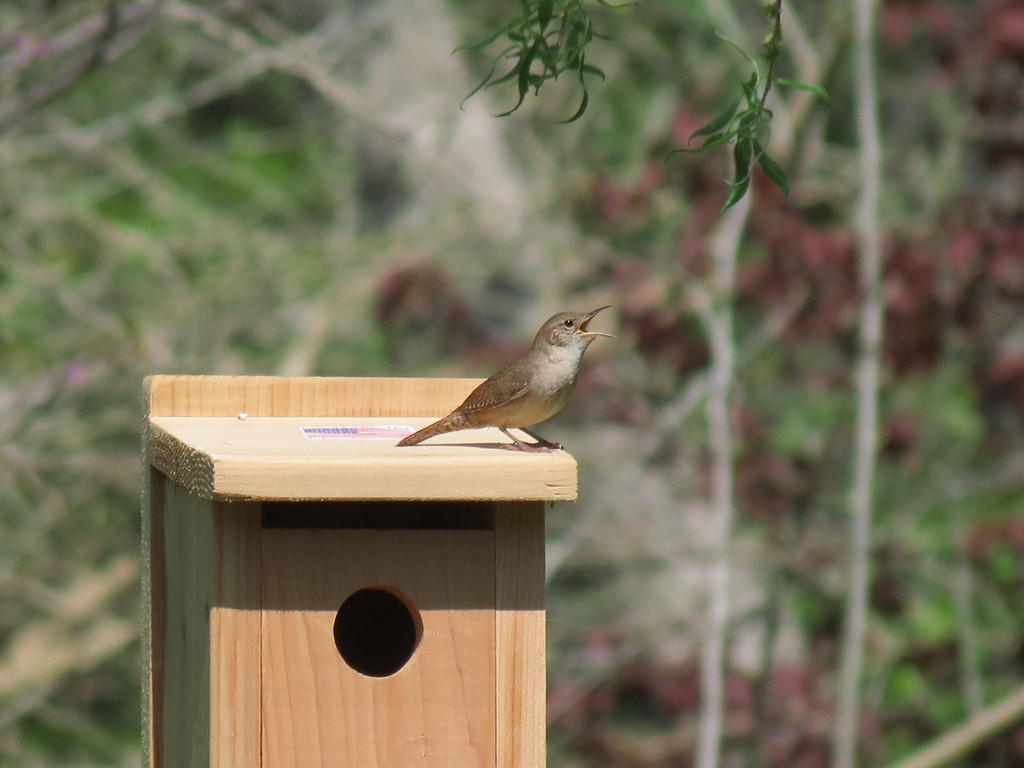 Wren singing on top of the new Bluebird house.<br /> He has been busy building a nest in both of the Wren Houses and <br /> also in this new Bluebird house.