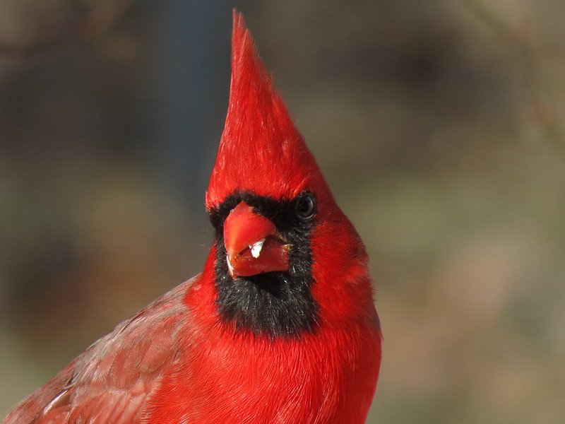 One of the Cardinal pictures that I got today, the 15th day of January.