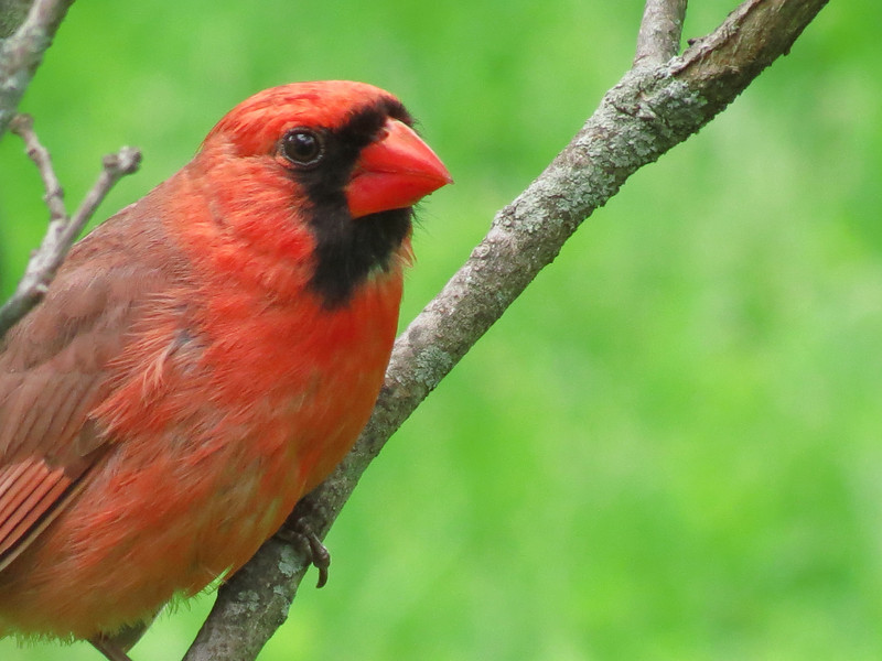 Red Cardinal on a Rainy Day in May.