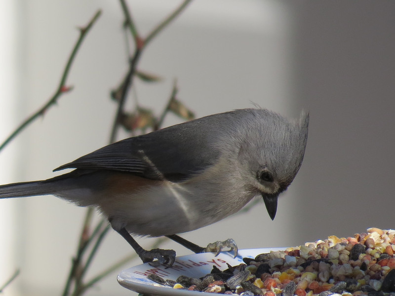 Tufted Titmouse closely examining the variety of seeds.