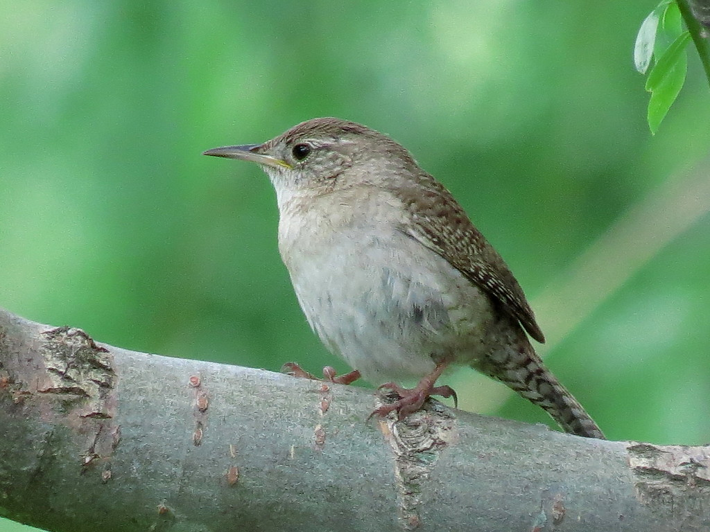 The Tiny Wren that can't Be Still for Two Seconds.