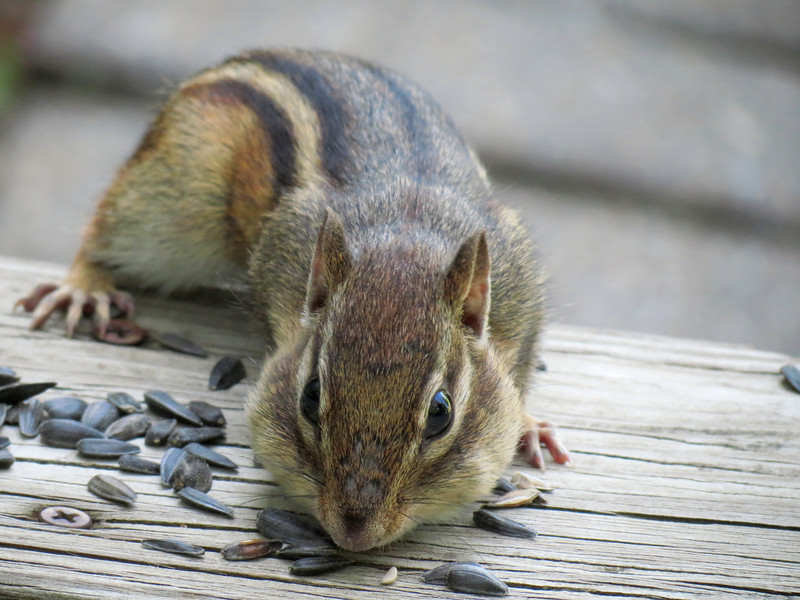 Squirrel Hoovering-up Sunflower Seeds on The Worn and Weathered Step.