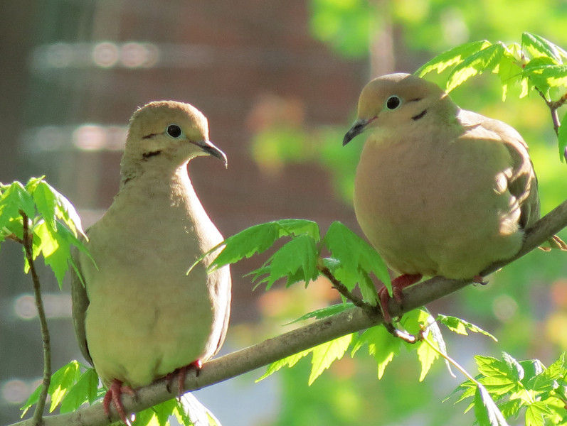 A pair of Doves in bright afternoon sunlight.