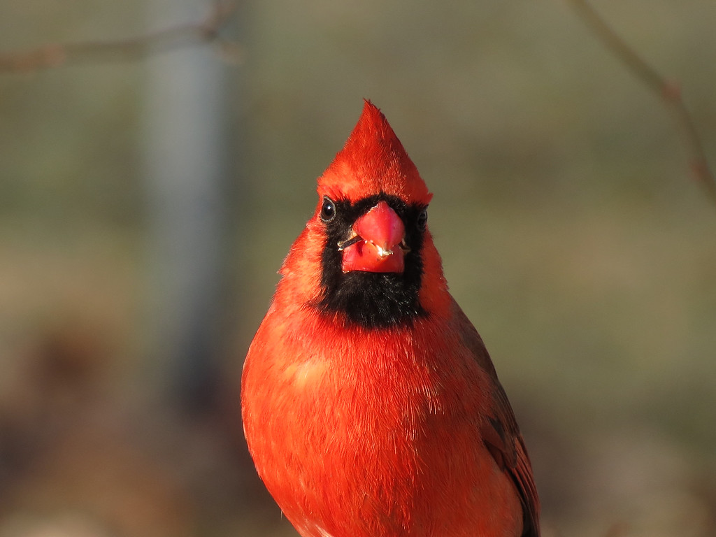Cardinal in late afternoon sunlight.