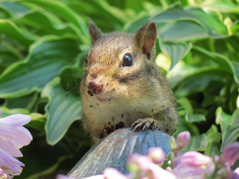The little ground squirrel after digging around in the Hosta.<br /> We always clean his little paws before we let him into the house.