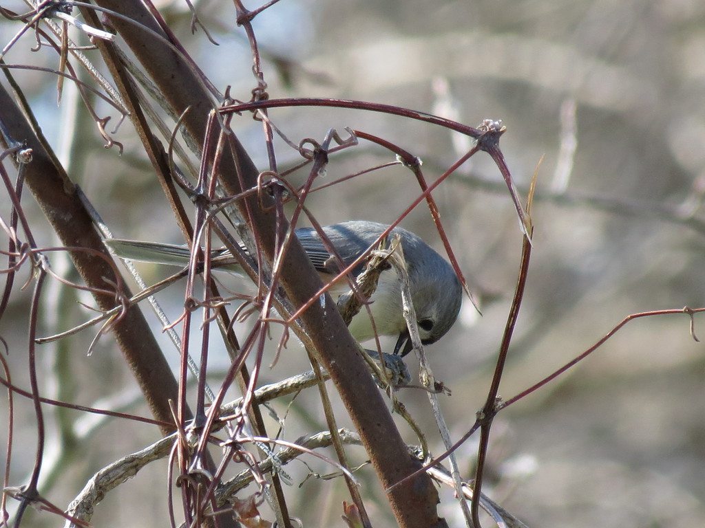 Titmouse cracking open a sunflower seed on a cold but sunny April 1st.