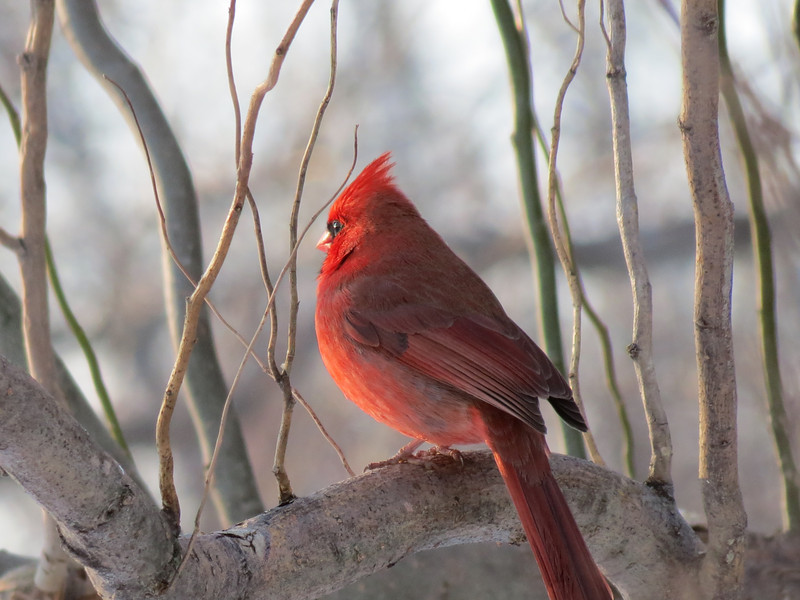 A bright red Cardinal looking out at the snowy yard as the Sun begins to set.