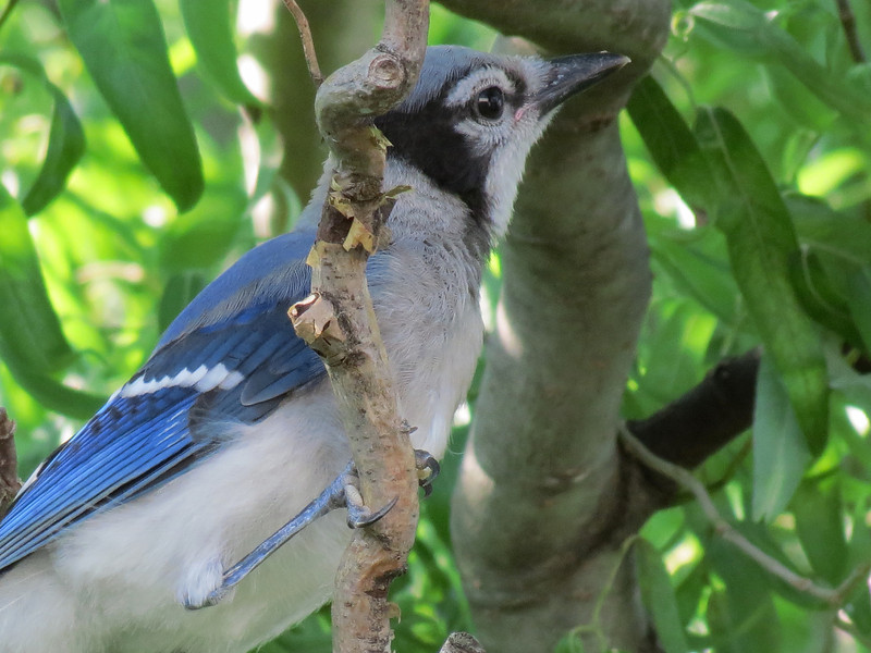 One of the baby Blue Jays