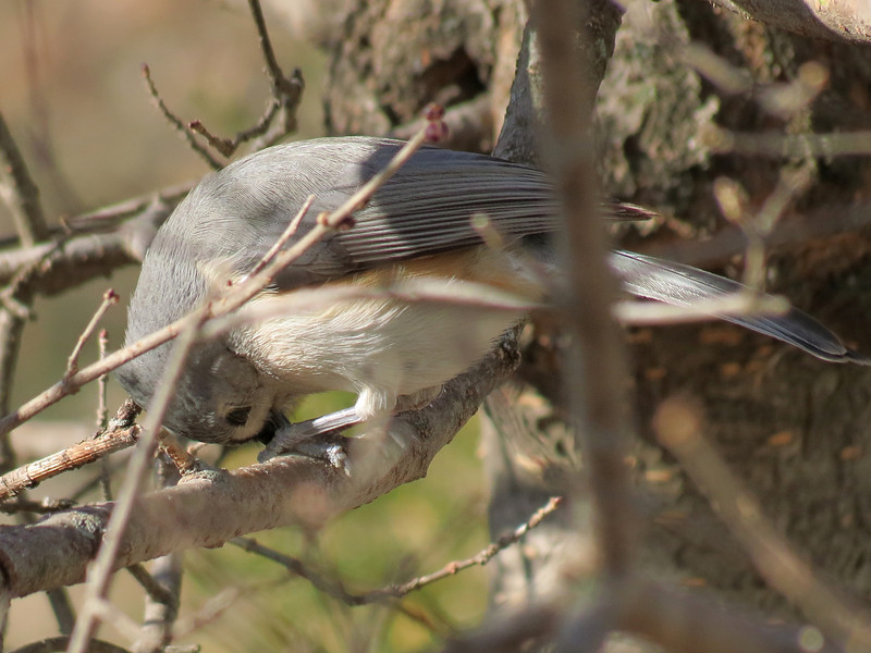 The Titmouse just gets one sunflower seed and then flies <br /> to a nearby tree, holds the seed with its feet and opens the seed up.