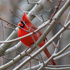 Red Cardinal on a very cold December 30.