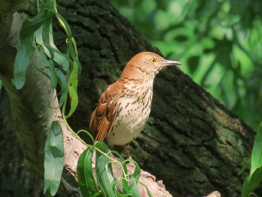 One of the Brown Thrashers.