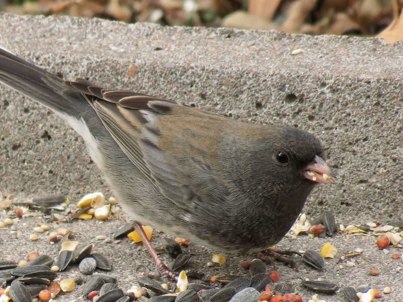 Dark-eyed Junco on a broken splash block that I have been putting some bird seed on.<br /> I have this concrete block underneath the Lilac tree so that there is a little protection from <br /> the Hawks that come swooping through the yard occasionally.