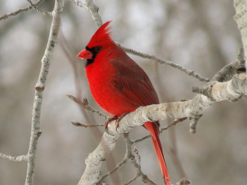 New Year's Day Cardinal.