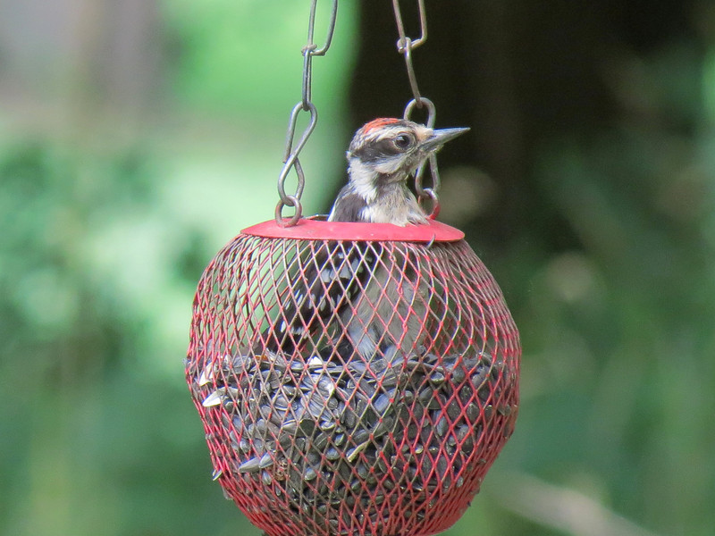 The Downy Woodpecker decided it is just easier to get into the feeder and eat.
