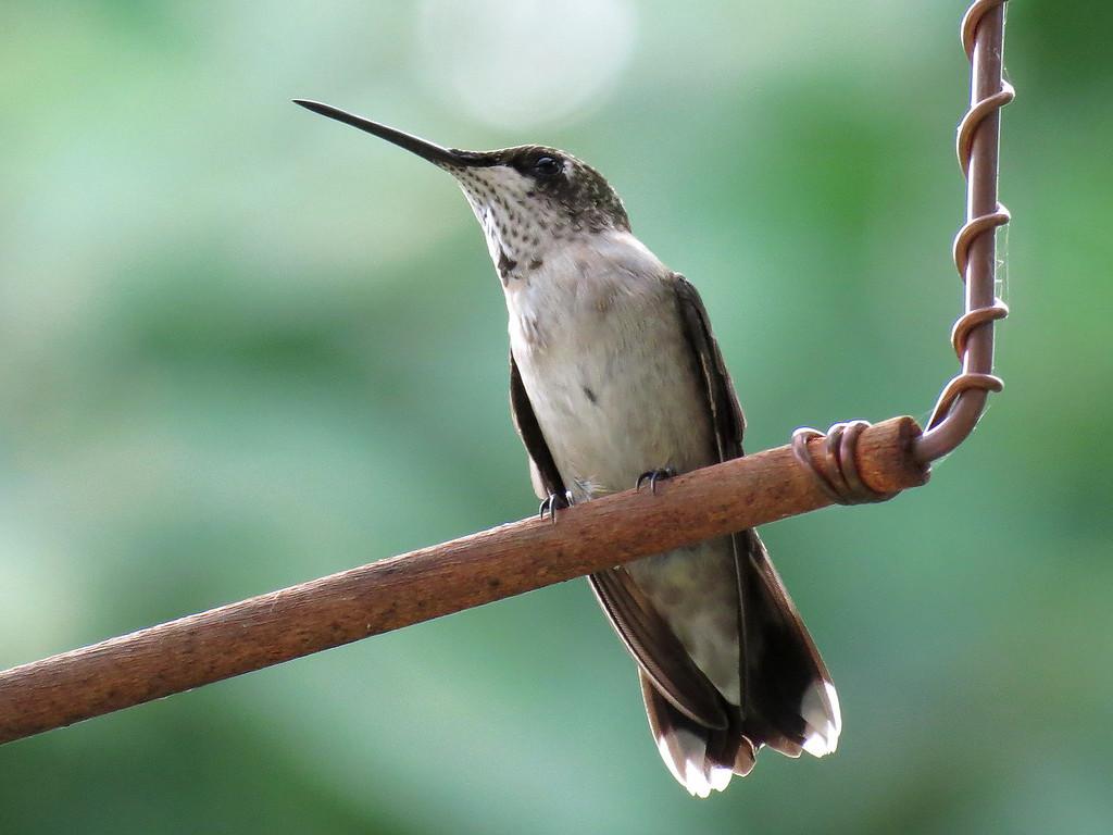 Hummingbird on a Swing