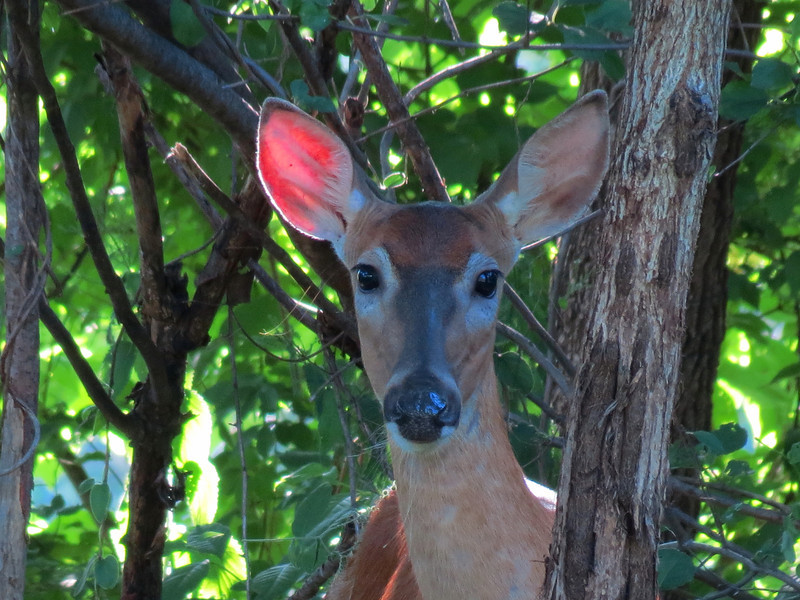 A doe in the backyard.
