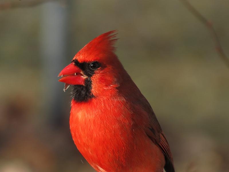 Cardinal eating sunflower seeds.