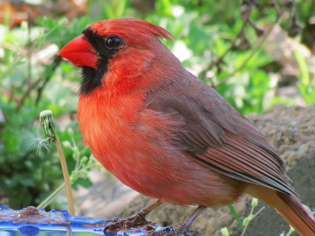 Cardinal getting a drink of fresh water on a cool Spring afternoon.