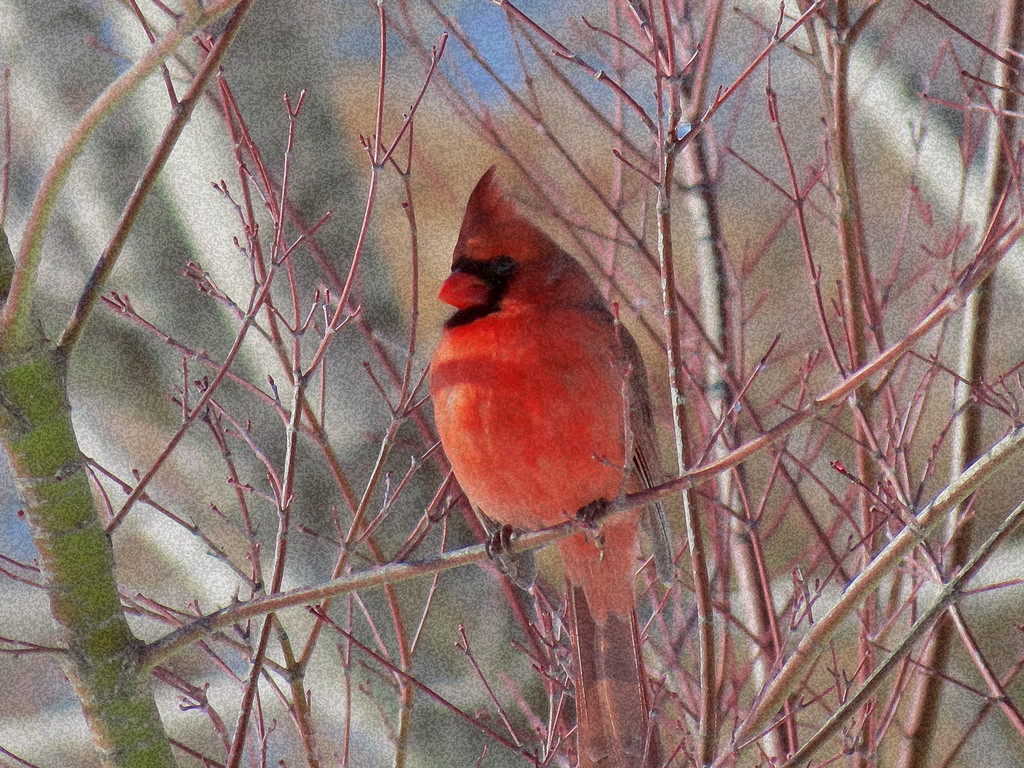 I liked this Cardinal in this little Japanese Maple tree<br /> but the focus was bad so I applied a filter to it to obscure the bad focus.