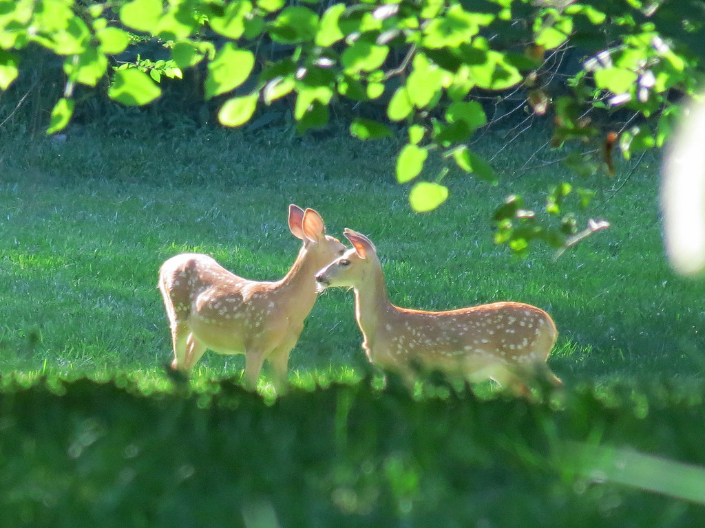 Two of the Fawns that we have been watching.
