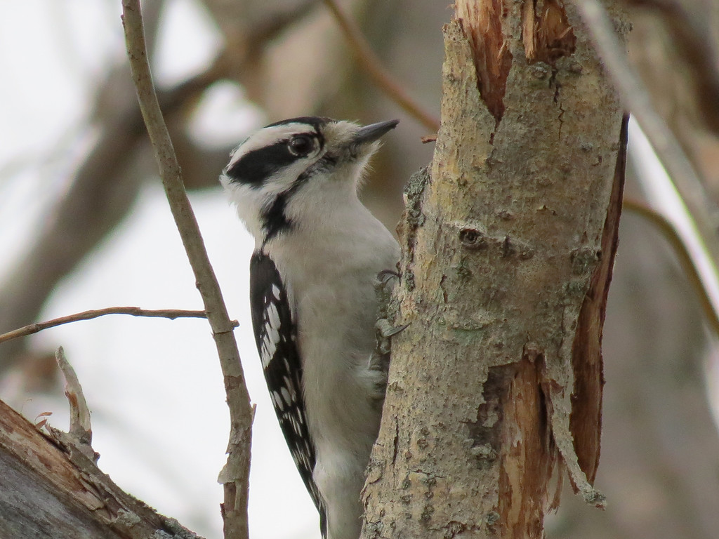 Downy Woodpecker on a nearly 75 degree January 28, 2013.