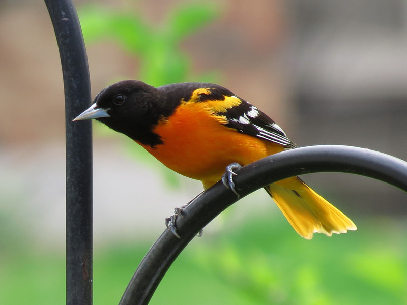 Oriole contemplating the grape jelly feeder.