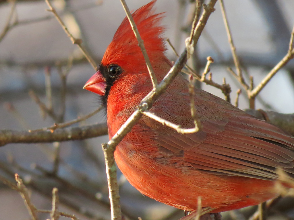 A brightly colored Cardinal in the late afternoon light.