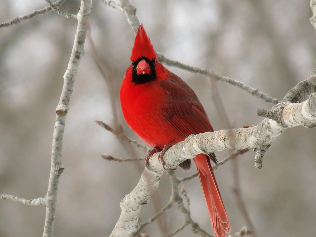 Cardinal on New Year's day -- a very cold and snow covered day.