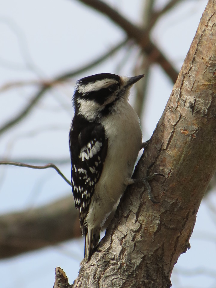 Small Downy Woodpecker