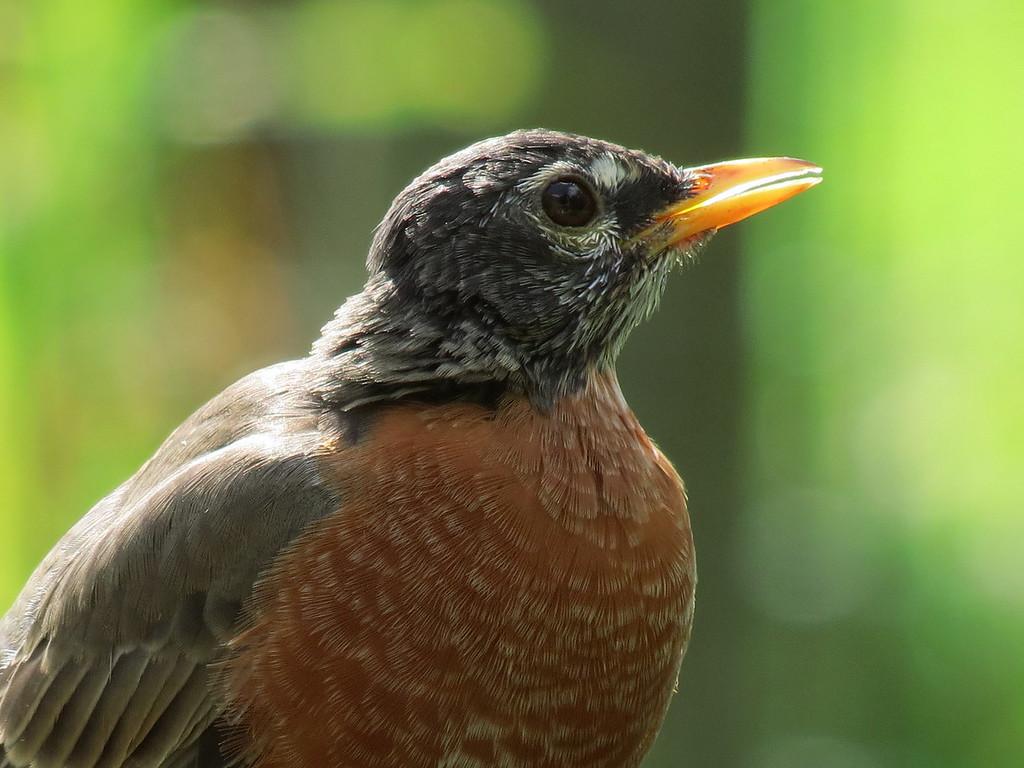 A Robin on October 16