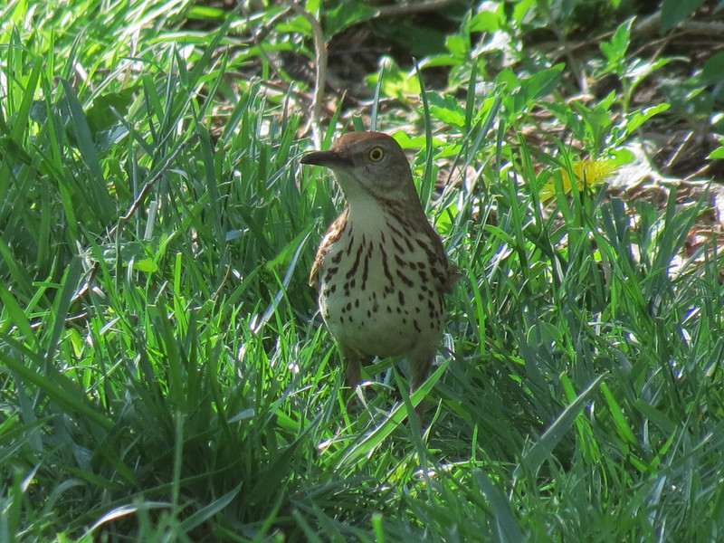 A Brown Thrasher in the shade of the Corkscrew Willow Tree.<br /> <br /> We were thinking that it would be nice<br /> if we had about a million of these birds in the backyard...<br /> but then we started wondering if we could accommodate <br /> a million Brown Thrashers on our Little Homestead. <br /> So, I was forced to do some quick calculations on the <br /> back of a napkin to see if it was possible and we decided <br /> that it would be a tight fit and that there would be <br /> a lot of thrashing around and maybe things might get out of hand.