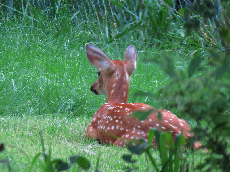 One of the three fawns we were watching last night. <br /> This was taken through two glass doors at dusk.