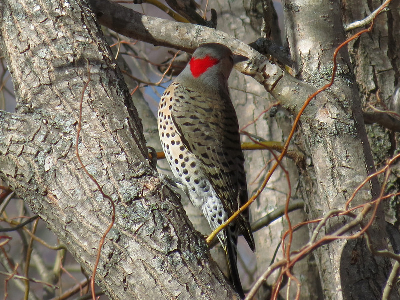 Flicker showing its red scarf.