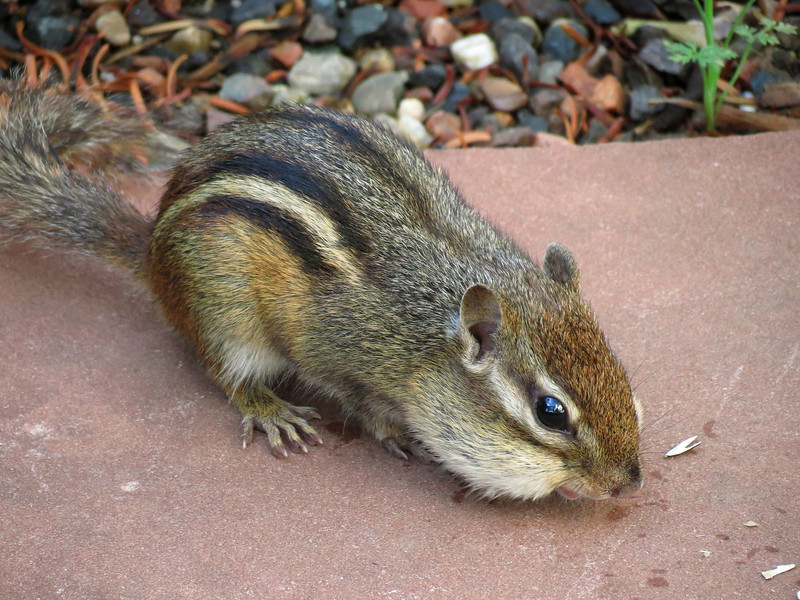 One of the little ground squirrels hoovering-up some sunflower seeds.