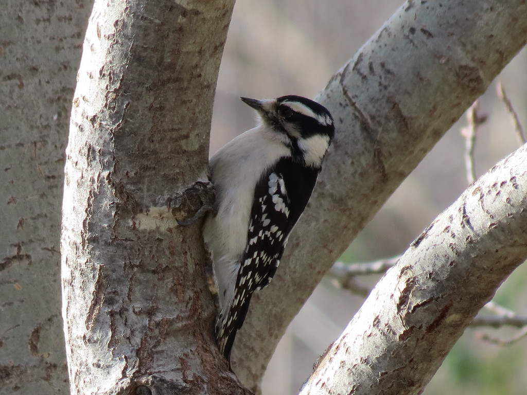 A small Downy Woodpecker hiding in the shadows of an Aspen tree as the Hawk flew by.<br /> As I was taking this photo, all the birds scattered amidst a great flurry of wings and <br /> the Hawk went through the back yard about ten feet off the ground <br /> but didn't stay for me to photograph it.