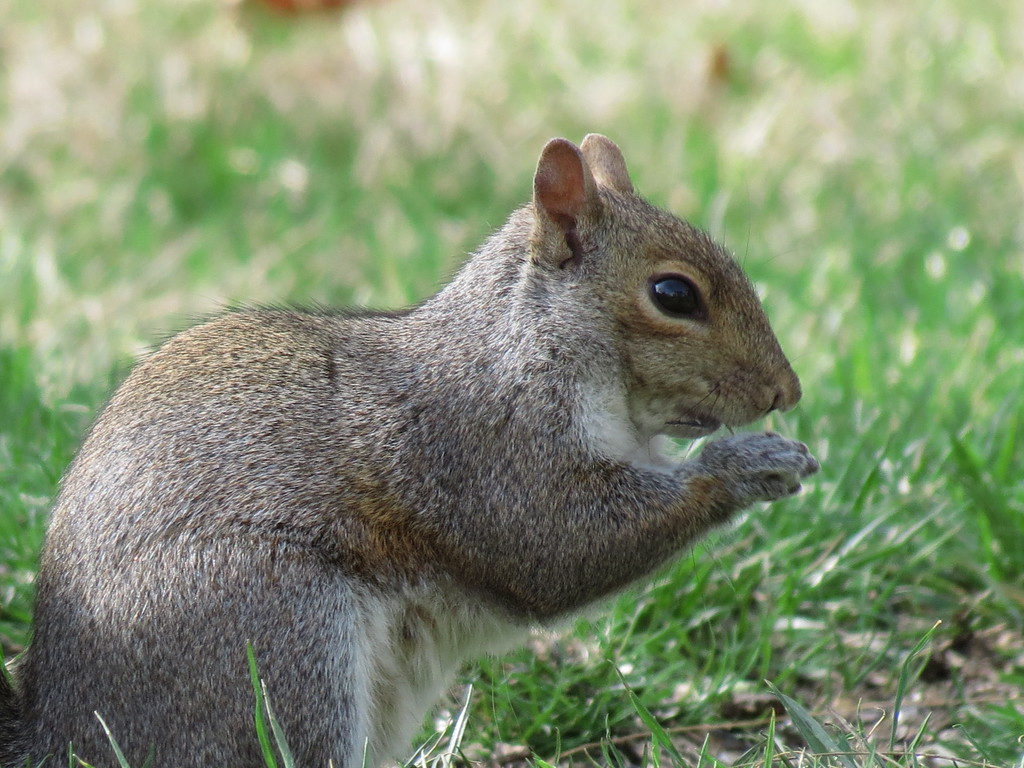 This is not the short-tailed squirrel.